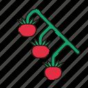 vegetable, tomatoes, tomato, fruit, vegetables
