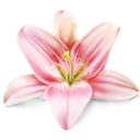 flower, lily, plant icon