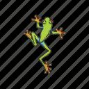 animal, carnivorous, frog, toad, tree frog