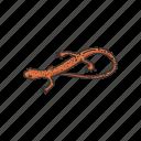 amphibian, animal, brook salamander, cave salamander, salamander icon