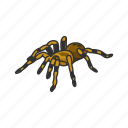animal, arachnid, invertebrate, red-kneed tarantula, spider, tarantula icon