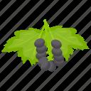berries, berry fruit, blackberry, chokeberry, elderberry fruit icon