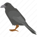 bird, carrion, crow, jackdaw, omen, raven, scavenger icon