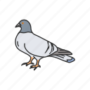 pigeon, bird, feather, domestic pigeon, homing pigeon, wings, animal