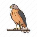 animal, bird, duck hawk, fish hawk, goshawk, hawk