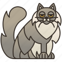 asian, cat, feline, fluffy, longhair