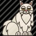 beautiful, cat, chinchilla, fluffy, longhair