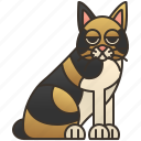 cat, cute, cymric, longhair, manx