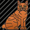 cat, feline, large, pixiebob, purebred