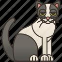 adorable, cat, domestic, pet, snowshoe icon
