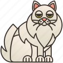 adorable, cat, fluffy, longhair, tiffanie