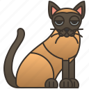 adorable, breed, cat, thailand, tonkinese icon