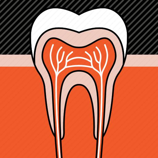 dentist, dentistry, healthy teeth, orthodontics, teeth, tooth icon
