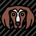 saluki, breed, dog, dogs, mammal