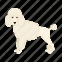 beast, dog, mammal, pet, poodle
