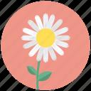 blossom, camomile, daisy, flower, plant