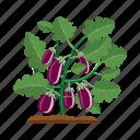 agriculture, aubergine, eggplant, garden, plant