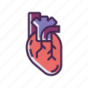 heart, organ