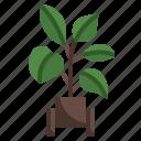 rubber, plant, pot, gardening, tree, nature