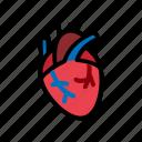 heart, human, anatomy, blood, cardiology