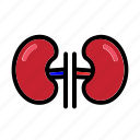human, kidney, organ, anatomy, renal