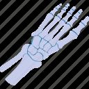 anatomy, body, bone, skeleton, toe icon
