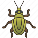 weevil, beetle, insect, entomology, coleoptera