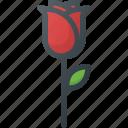 flower, rose, spring