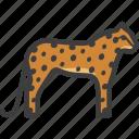 cheetah, feline, guepard, leopard