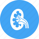 anatomy, health, human body, internal, kidney, organ, renal icon