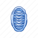 animal, chiton, marine animal, sea cradles, seashell, shell icon