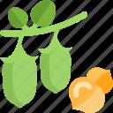 beans, food, green, groats, seeds