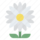 daisy, blooming, flower, nature