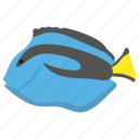 aquarium fish, aquatic fish, blue tang, fish, tang fish icon