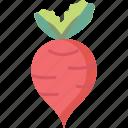 beet, beetroot, radish